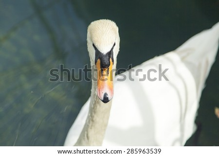 Swans in a pond float in search of food and rejoice to heat - stock photo
