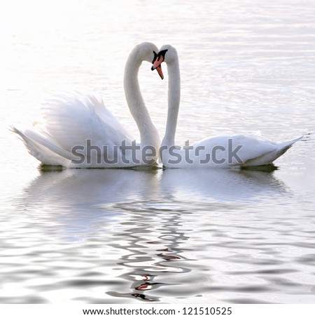 Swans in love - stock photo