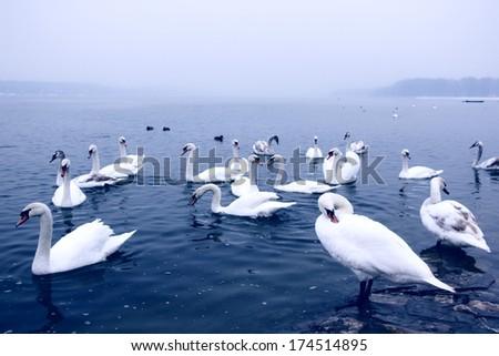 Swans in the cold Danube, Belgrade, Serbia.  - stock photo
