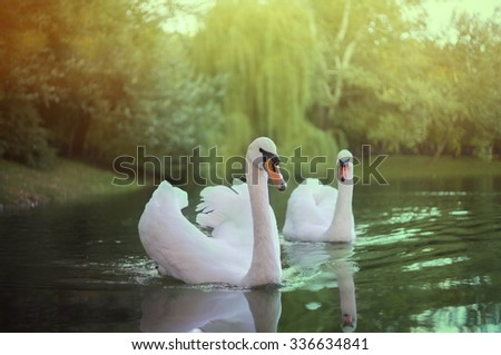 Swans in the park, Kiev - stock photo