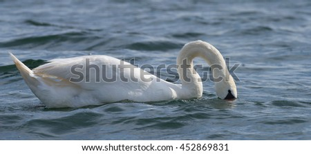 Swans on big sea Milada near Usti nad Labem city