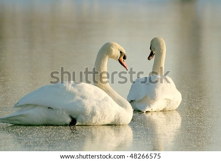 Swans on frozen lake at sunset. One of them with his eyes closed. Photo taken in December.
