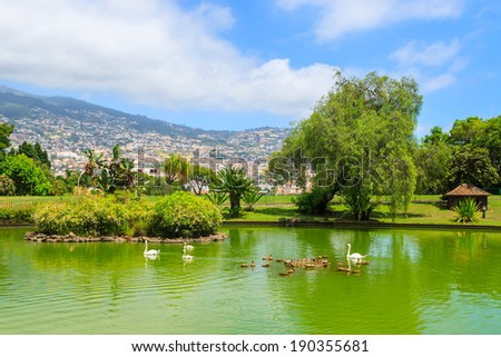 Swans on green water lake in Santa Catarina tropical city park gardens of Funchal, Madeira island, Portugal