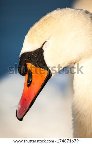 Swans on the lake with blue water background  - stock photo