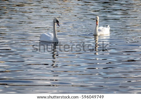 swans on the river in prague