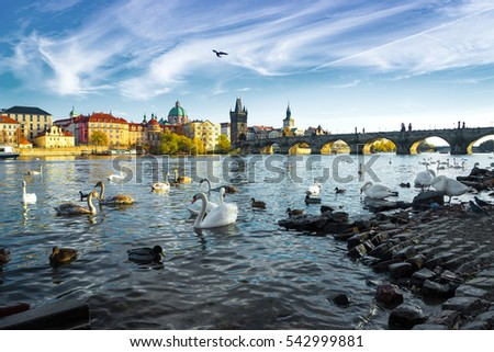 Swans on Vltava river in Prague. Charles Bridge on the background