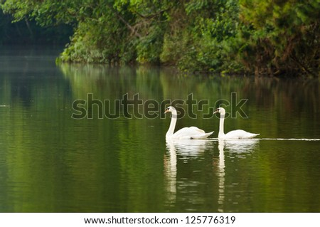 Swans pair. Swimming in the lake. Pang Ung park. Thailand - stock photo
