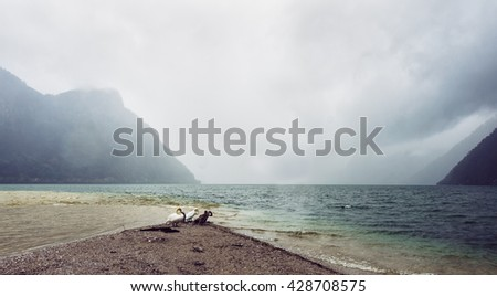 Swans standing in a rain over mountain lake with low clouds in Austria. Cloudy sky over beautiful lake, Austria. Lake view. Scenic lake view at a rainy day. Dramatic lake view vacation. Summer lake.