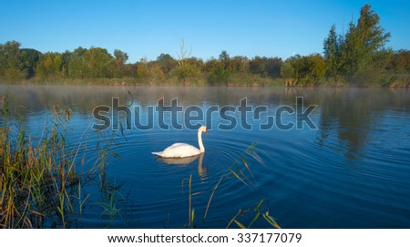 Swans swimming in a foggy sunny canal in autumn