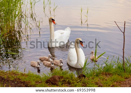 Swans with nestlings - stock photo