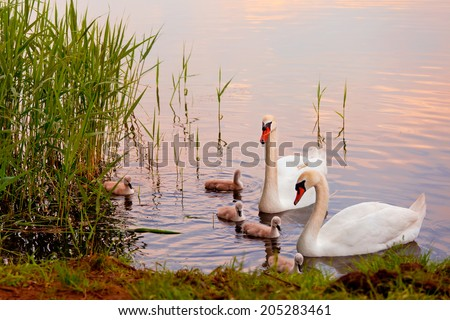 Swans with nestlings at  sunset - stock photo