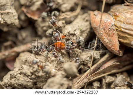 Swarm Of Ants Eating Insect Macro Close Up - stock photo