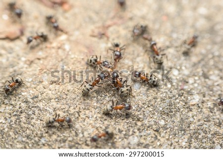 Swarm Of Ants Fights For Food