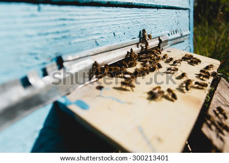 Swarm of bees at the tap-hole of blue wooden hive in a summer day, with yard on the background, close up - stock photo