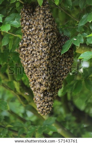 Swarm of bees on the tree - stock photo
