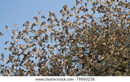 swarm of birds kalahari