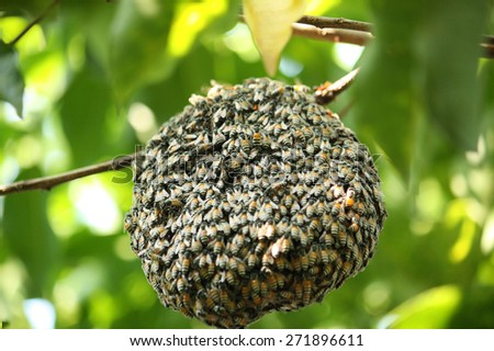 swarm of many bees on a tree branch help build honeycomb - stock photo