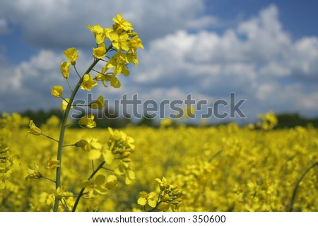 swede - stock photo
