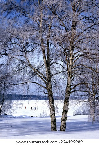 Sweden, birches growing in snow - stock photo