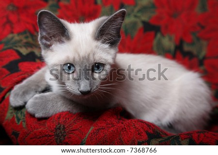 Sweet and innocent, lilac point Siamese kitten on red poinsettia tapestry chair.