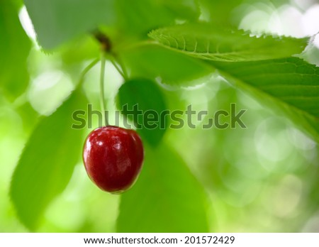 Sweet and Juicily Ripe Cherries on the Tree Branch - stock photo
