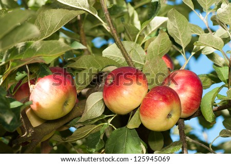 Sweet and Tart Akane Apples Growing on the Tree,  Ripe and Ready to Pick and Eat Uncooked, Drink as Cider, or Cook in Recipes - stock photo