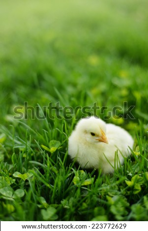 Sweet Baby Chick in Green Grass - stock photo