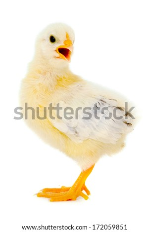 Sweet baby chicken is standing on a clean white background. - stock photo