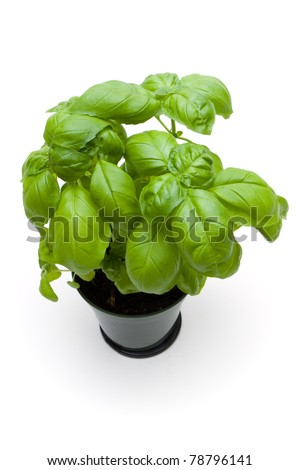 Sweet Basil in a pot - stock photo