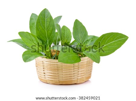 Sweet basil leaves in the basket