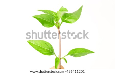Sweet basil leaves on white background; selective focus