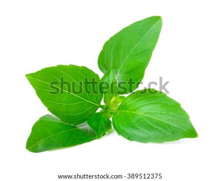 Sweet Basil on white background - stock photo