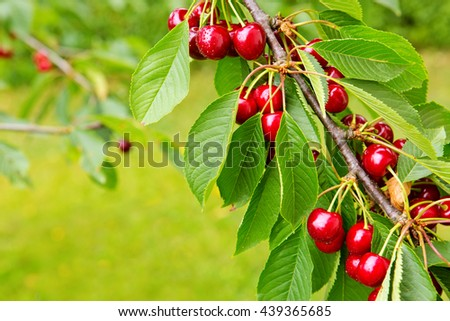 Sweet big cherries on a branch close up.