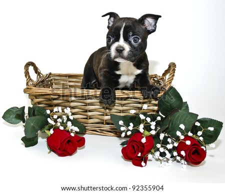Sweet Boston Terrier puppy in a basket with red roses on a white background. - stock photo