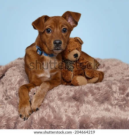 Sweet Brown Red Dog Relaxing with Teddy Bear Blue Background - stock photo