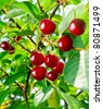 Sweet cherries on a branch - stock photo