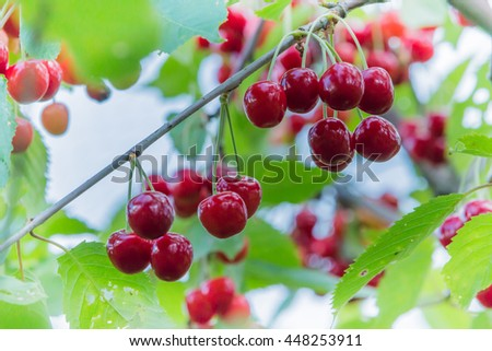 Sweet cherry red berries on a tree branch. - stock photo