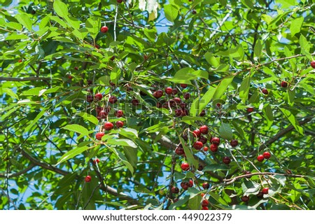 Sweet cherry red berries on a tree branch close up - stock photo