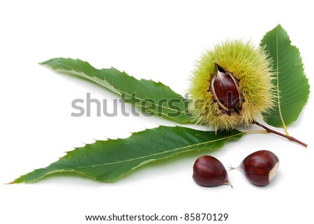 sweet chestnut fruit half split with seeds and leaves on white background - stock photo