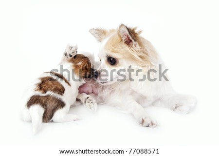 sweet chihuahua dog mother nursing her puppy on white background - stock photo