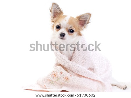 sweet chihuahua dog with pink towel isolated on white background - stock photo