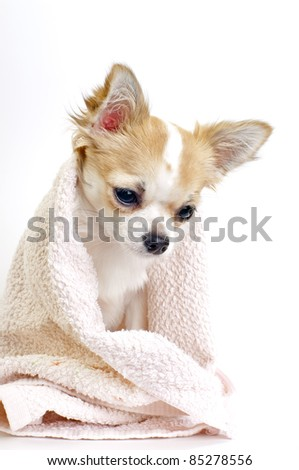 sweet chihuahua puppy with pink towel on white background - stock photo