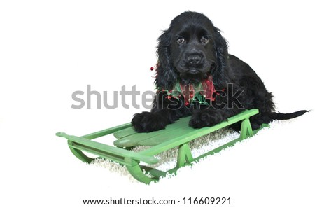 Sweet Cocker Spaniel Puppy on a sled with Christmas colors, on a white background. - stock photo
