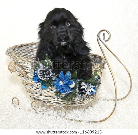 Sweet Cocker Spaniel Puppy sitting in a sled on a white background. - stock photo