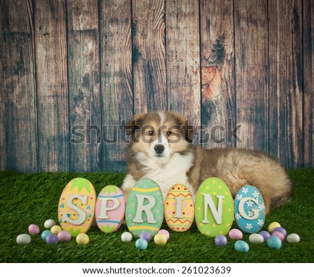 Sweet Collie puppy laying in the grass with a spring sign in front of her with copy space.
