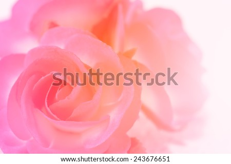 Sweet Color Rose Flower Make Mulberry Stock Photo Royalty Free