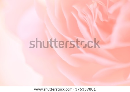 sweet color rose in soft color and blur style for background