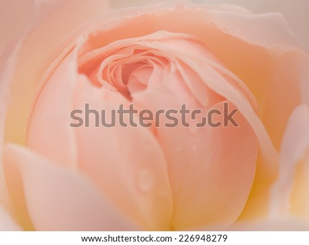 Sweet color, soft background of beautiful peach rose, Evelyn rose, English rose. - stock photo