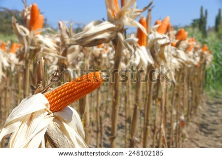 Sweet corn field - stock photo