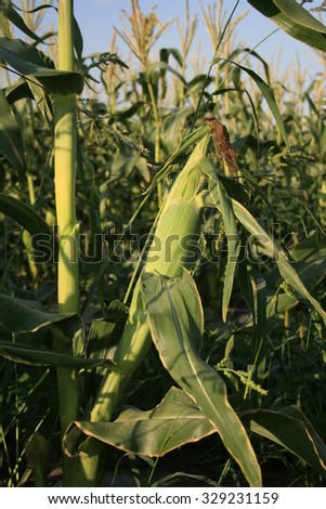 Sweet corn field. - stock photo